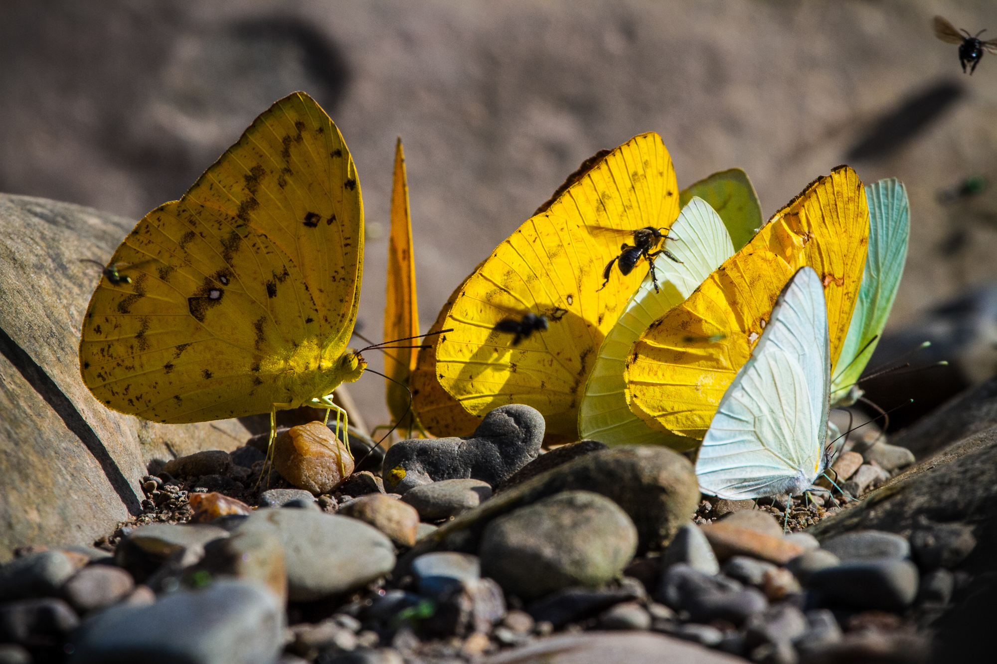 A group of colorful butterflies and wasps collecting salt from bird dung.