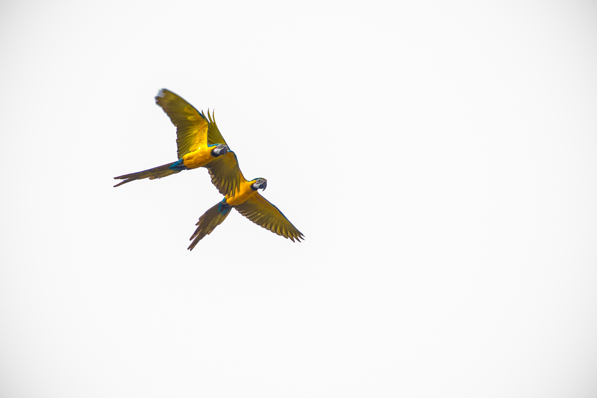 Pair of Macaw parrots flying overhead on a cloudy day.