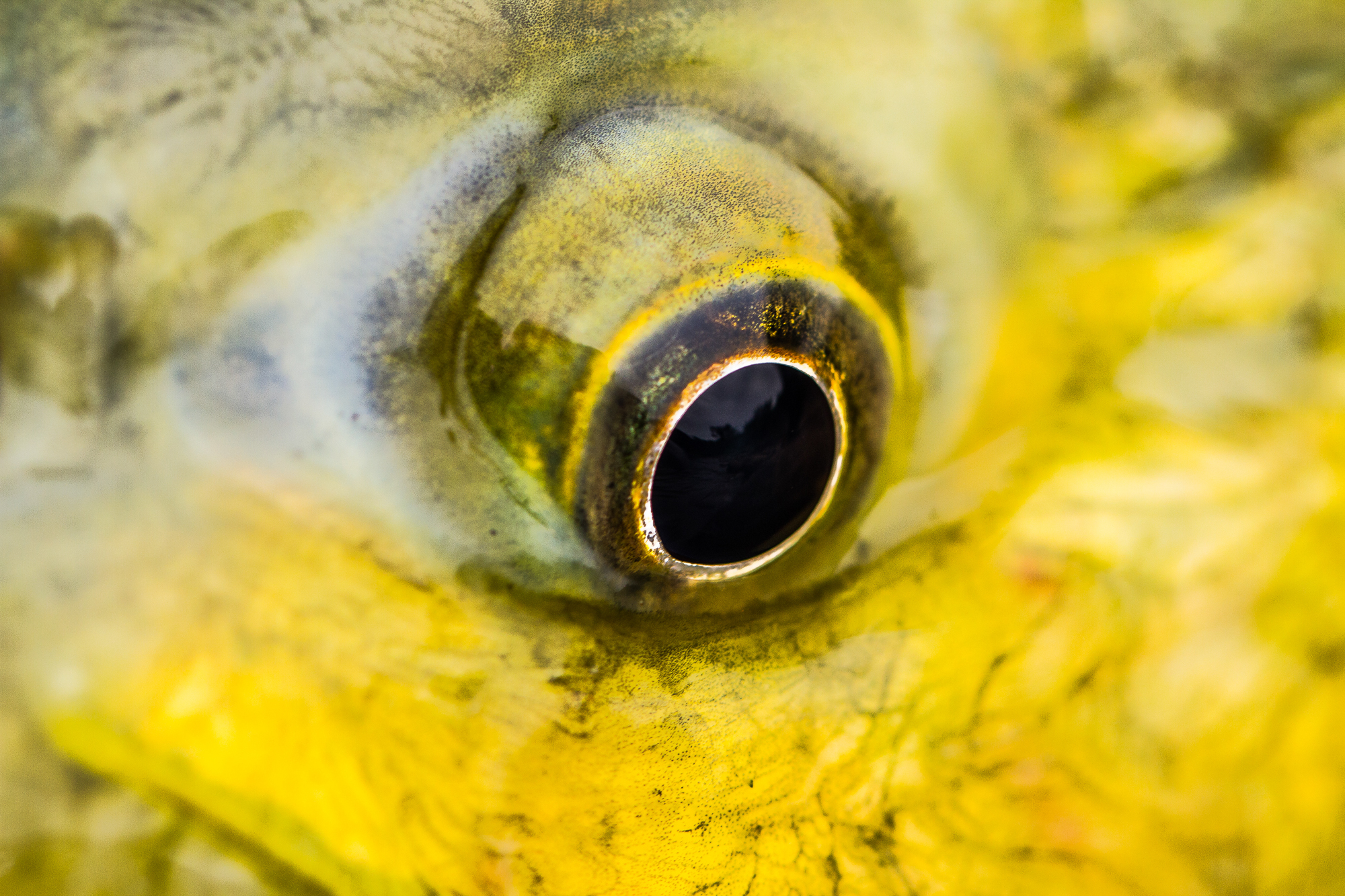 Macro shot of golden dorado eye.