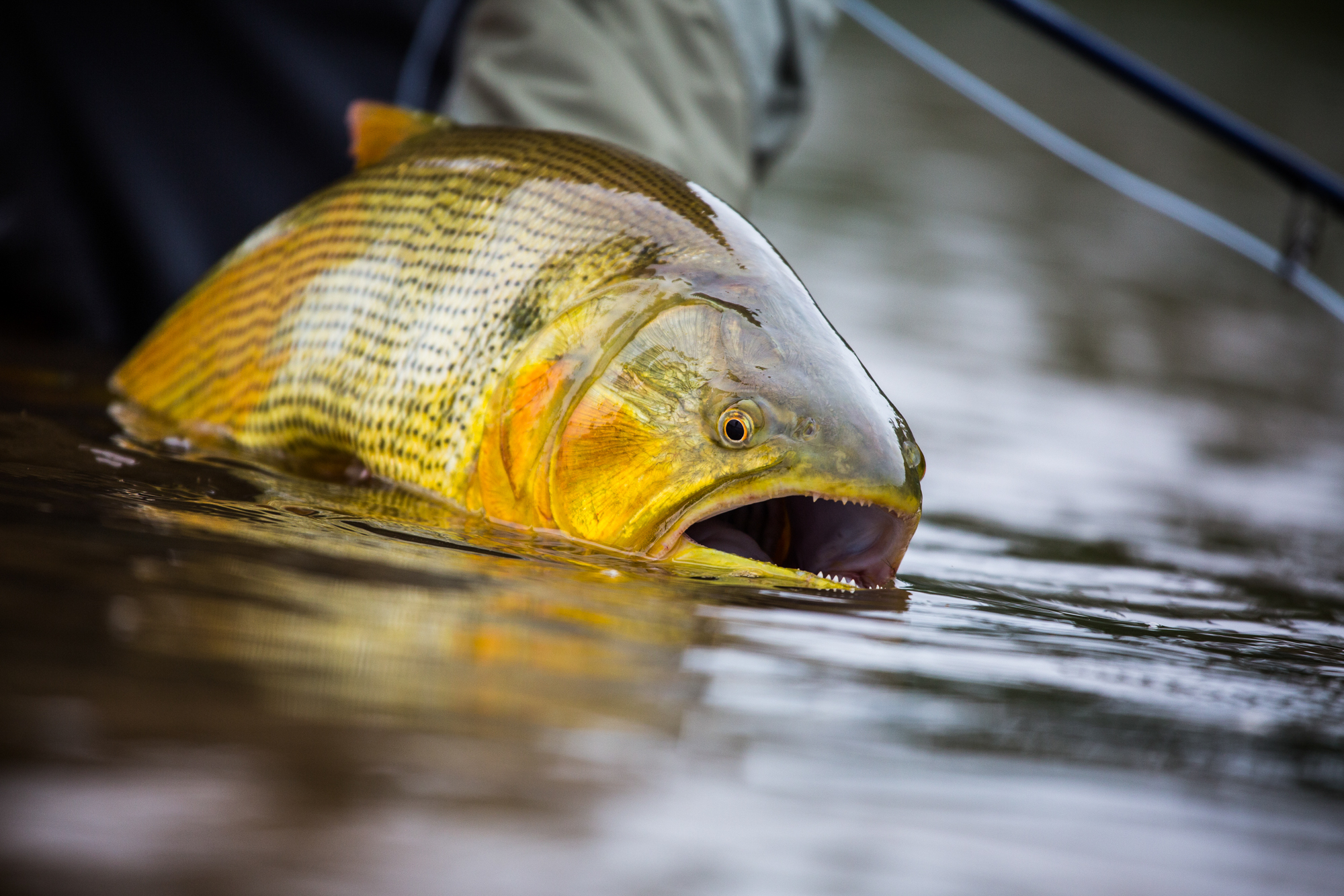 Golden dorado released to swim again on the Lower Pluma River.