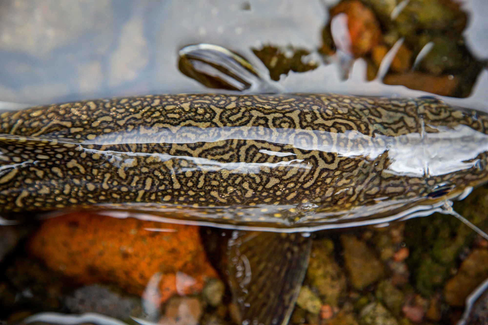 Beautiful vermiculation on this trout, caught by photographer Justin Hamblin on a high alpine lake.