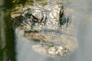 alligator submerged