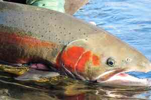 British Columbia Steelhead