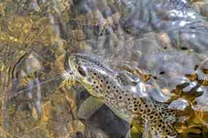 A Nez Perce Creek brown trout