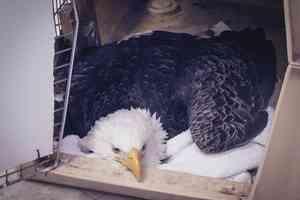 lead poisoned eagle