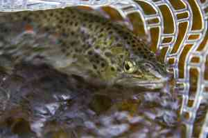 Brown Trout Raritan River NJ