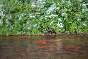 sockeye salmon kvichak river tributary alaska