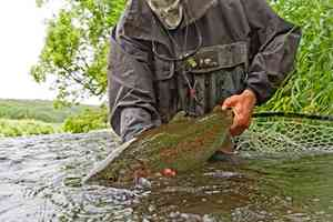 savan river rainbow trout - Kamchatka, Russia