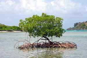 mangrove carribean