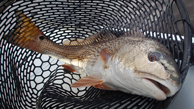 Carolina Redfish
