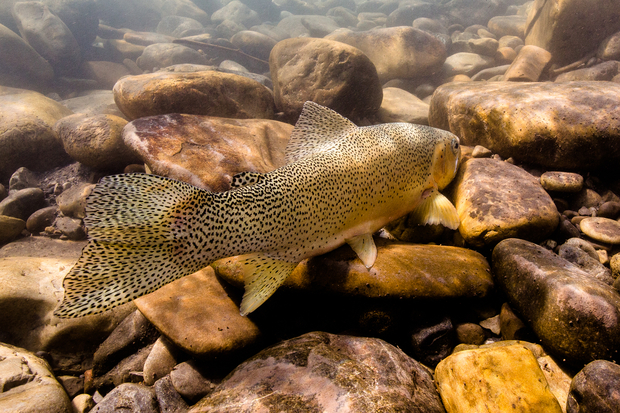Westslope Cuthroat Trout Underwater