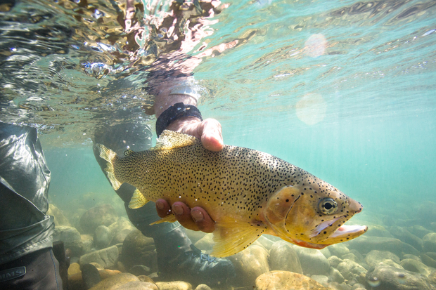 Westslope Cutthroat Trout Underwater