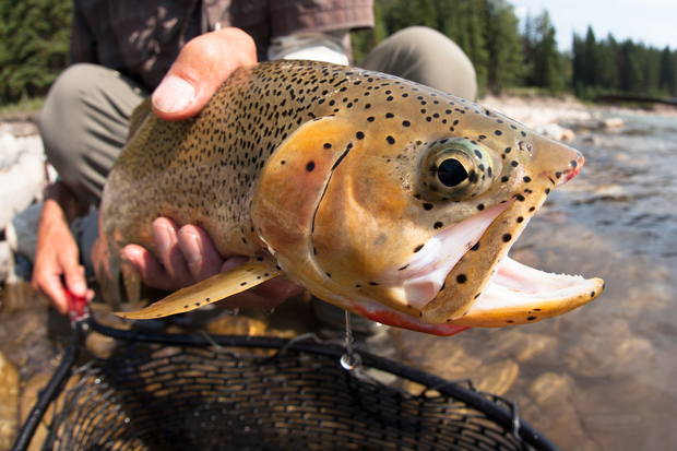 Westslope Cutthroat Trout - Closeup