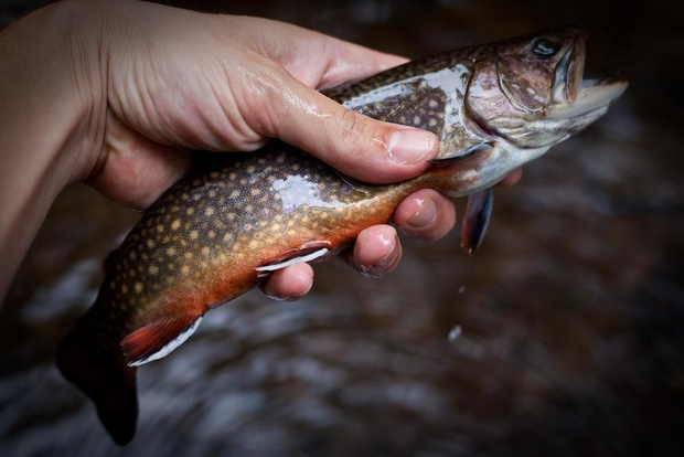 Wild Brook Trout Pennsylvania Backcountry Fishing