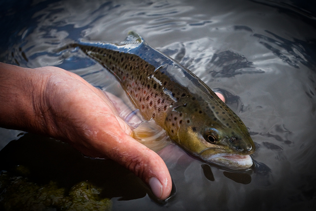 Gardiner River Brown Trout