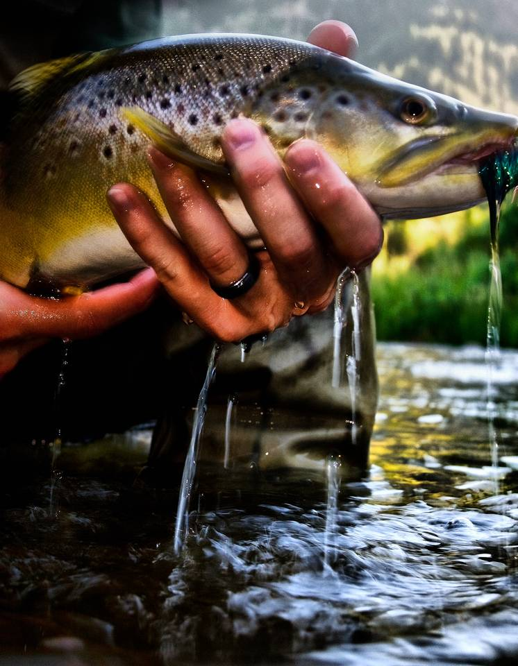 July Brown Trout