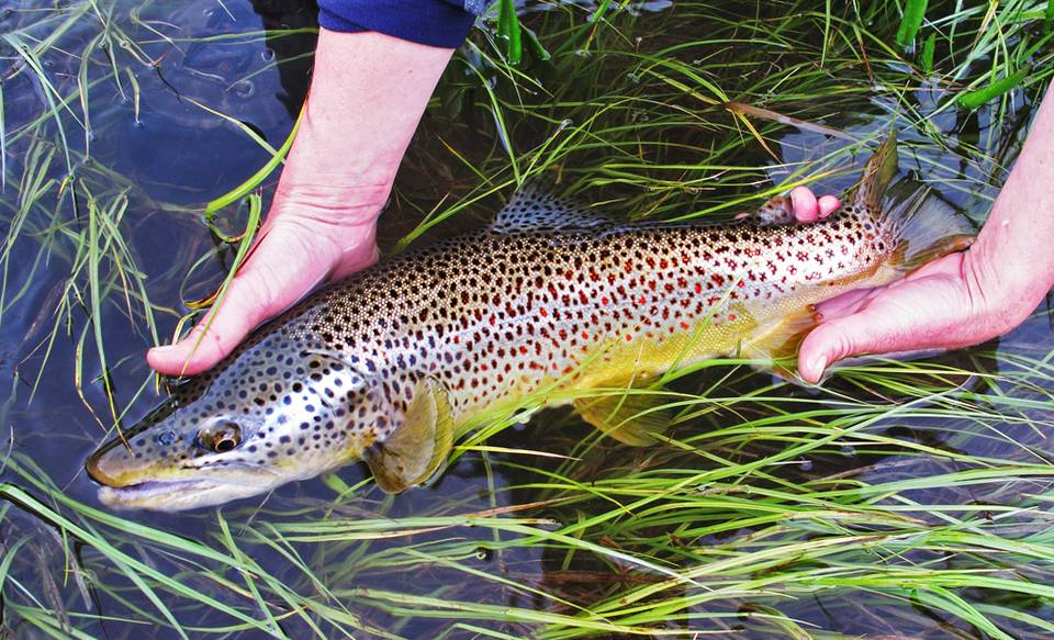 Brown Trout - Madison River