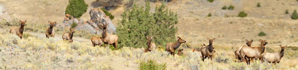 Elk Herd near Mammoth