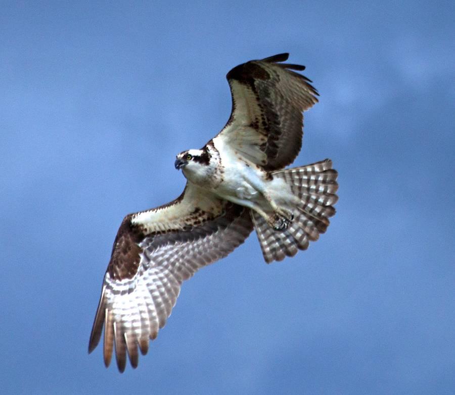 Osprey - Upper Madison River