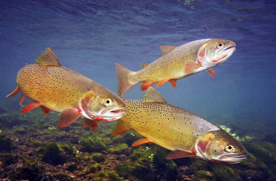 Snake River Cutthroat Trout - Headwaters of the Snake River
