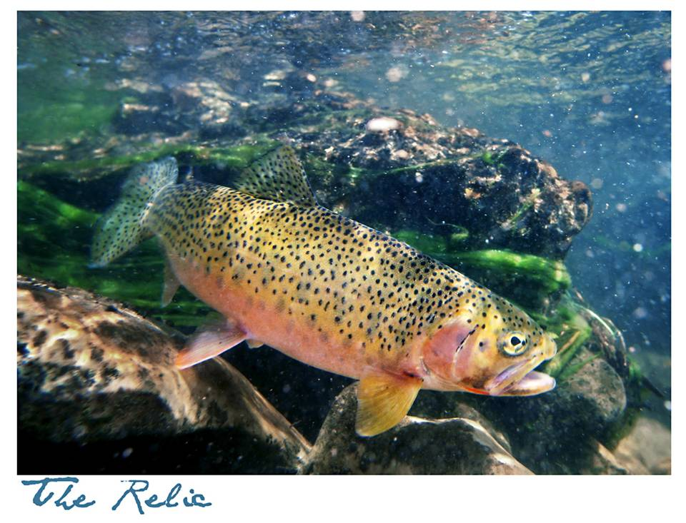 Westlope Cutthroat Trout - Headwaters of the Gallatin River