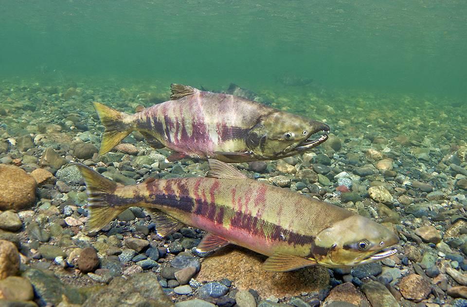 Chum Salmon Spawning Colors