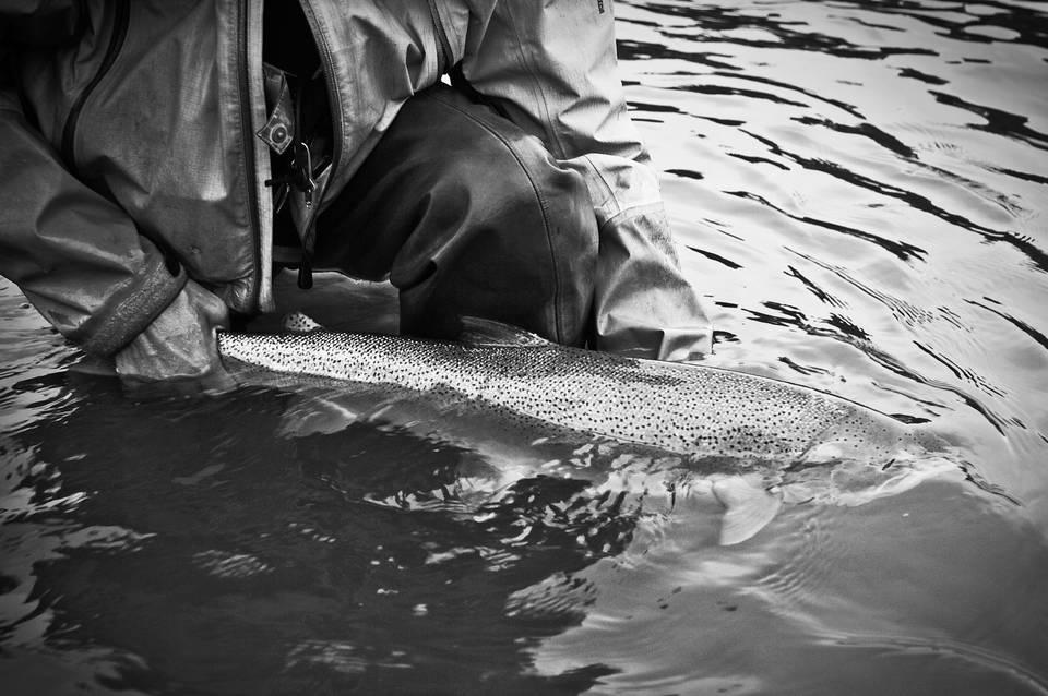 Skeena River Steelhead