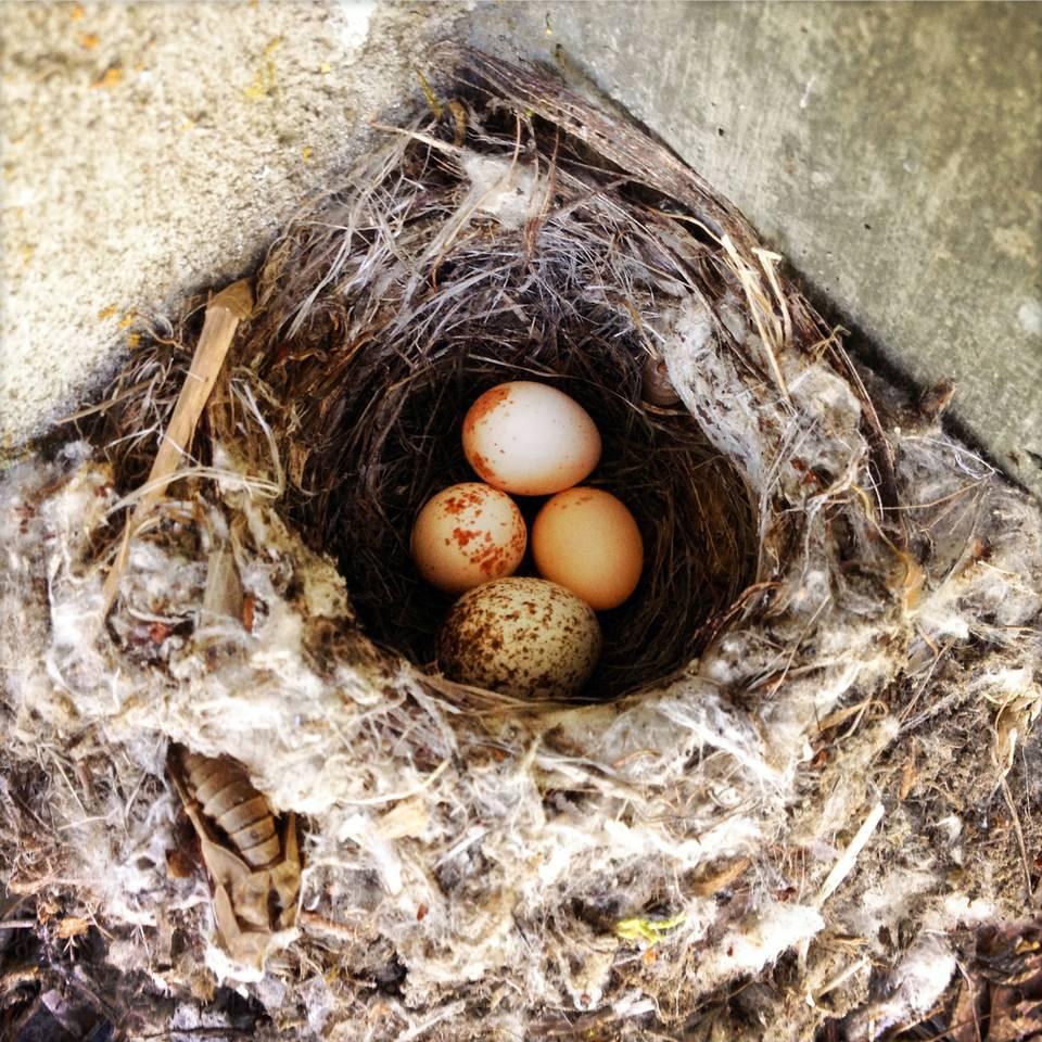 Swallow Eggs in Nest