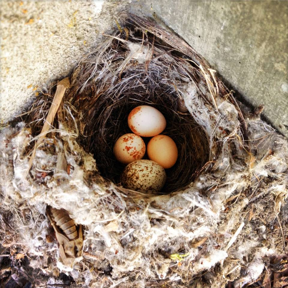 Swallow Eggs in Nest