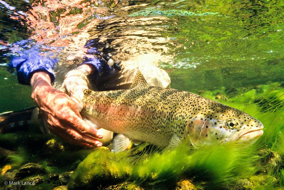 Kamchatka Fly Fishing - Rainbow Trout Underwater
