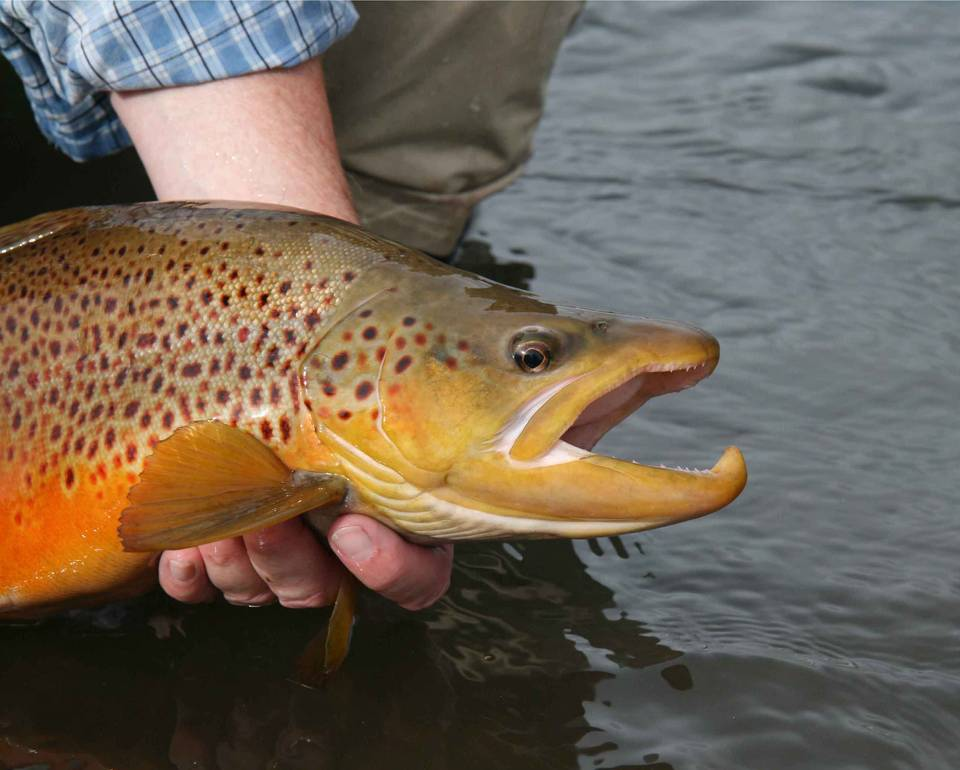 South Platte Brown Trout