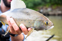 A native Alaskan arctic grayling.