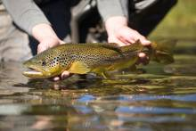 brown trout with reflection