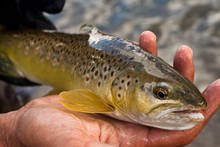 Autumn Brown Trout
