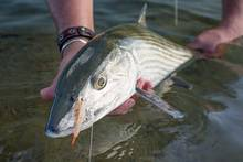 bahamas bonefish gotcha