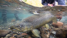 Limay River Brown Trout - Patagonia, Argentina