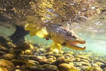 brown trout | streamer fly fishing