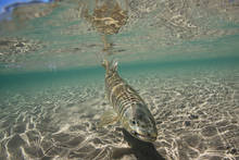 brown trout - lago yelcho - patagonia - chile