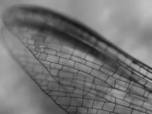 mayfly wing macro