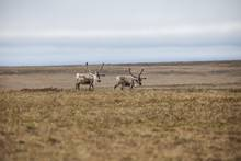 Caribou range on the National Petroleum Reserve in Alaska