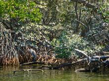 mangrove florida