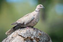 Eurasian collared dove