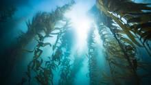 pacific ocean kelp forest california