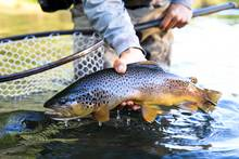 brown trout patagonia