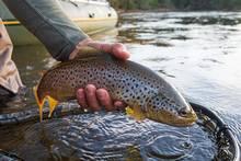 brown trout | copyright chad j. shmukler