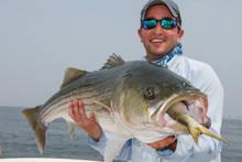 striped bass eating menhaden