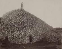 bison extinction skull pile