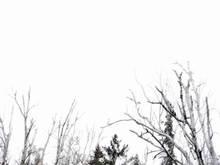 birch tops