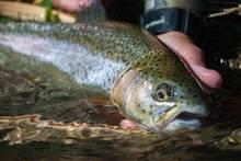 beaver creek rainbow trout ottobine va