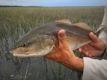 grass flats redfish